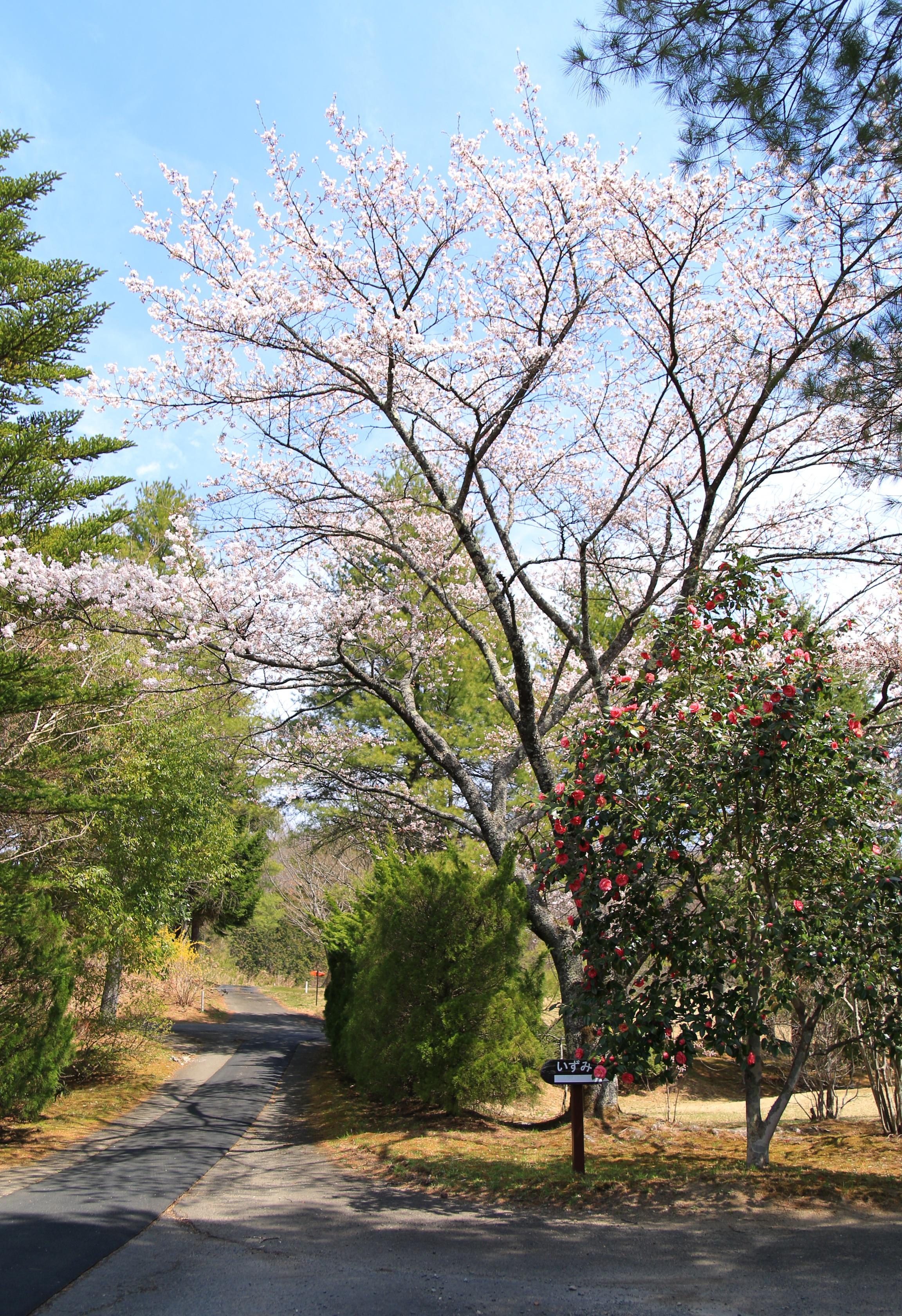 春(沼田、2019/4/18)