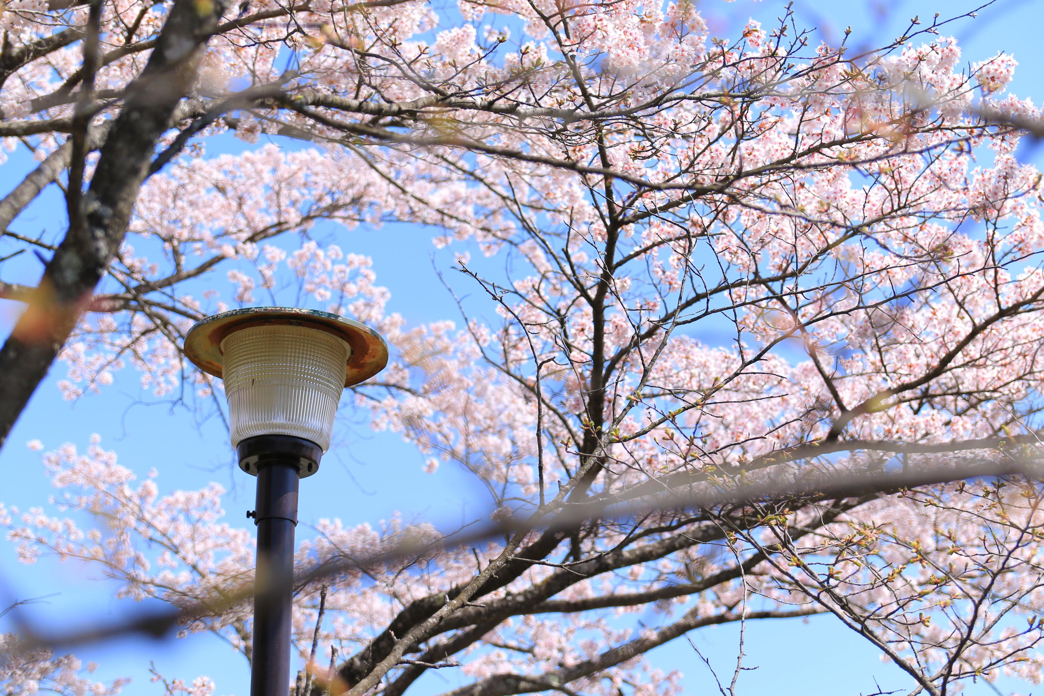 春(沼田、2019/4/22)
